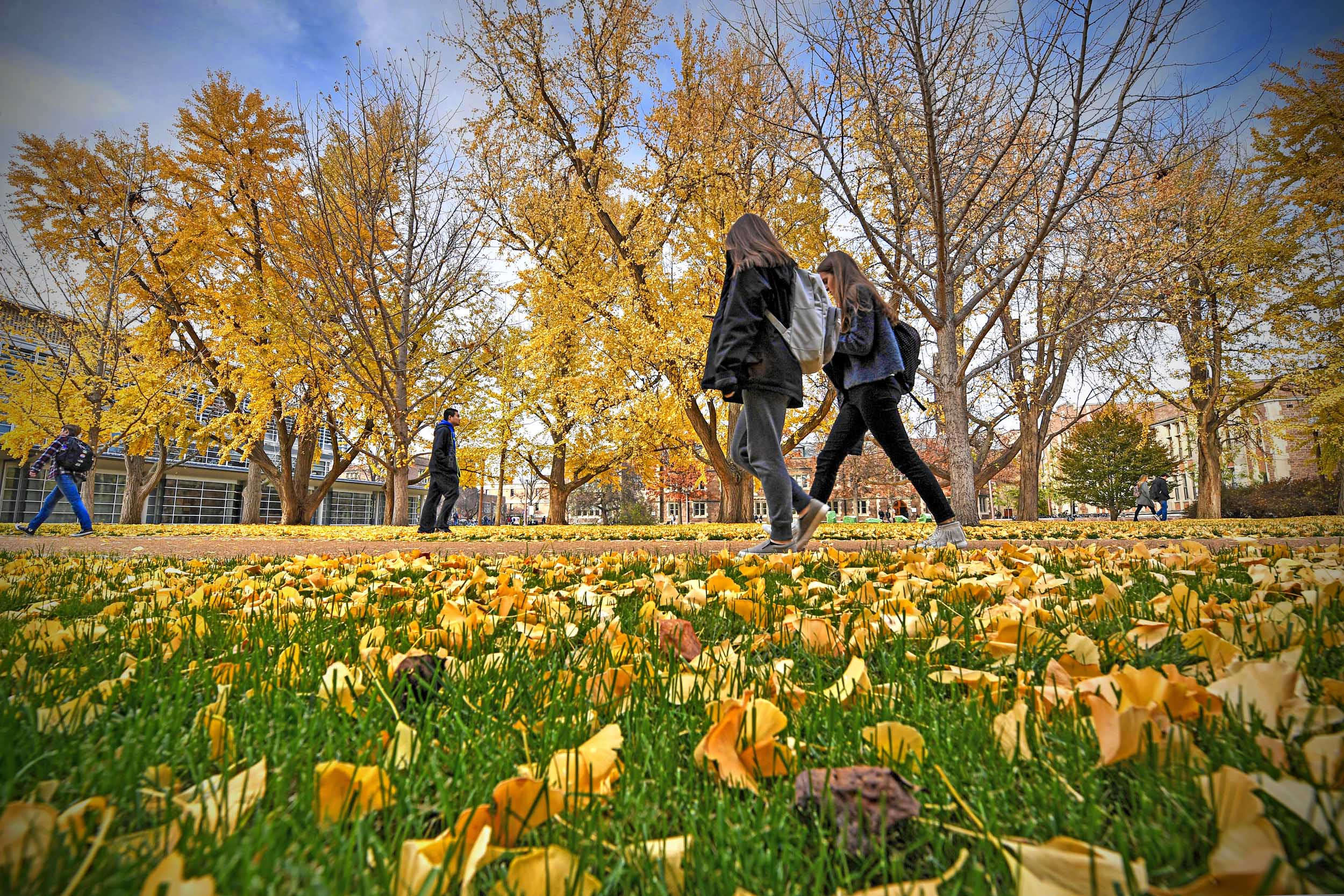 Students walking across the quad during fall when the yellow ginkgo leaves are draping the campus lawns.