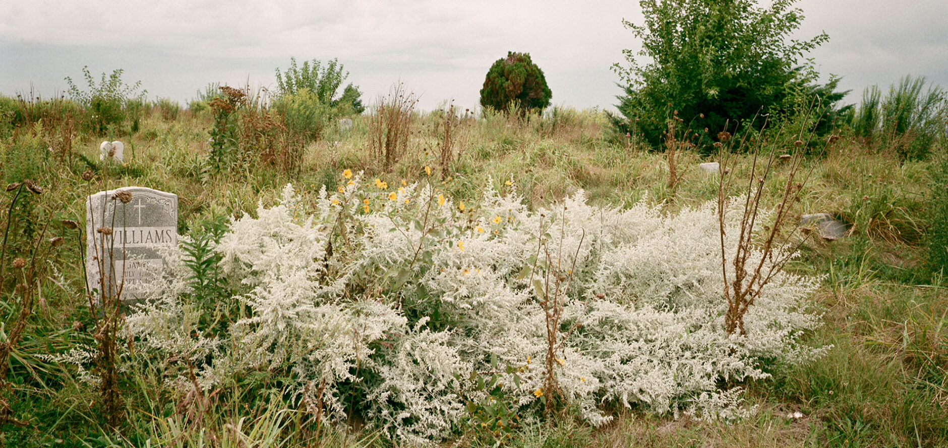 """The photo depicts a natural, overgrown field. There are trees in the background and a bush with small, yellow wildflowers in the foreground. Alongside the bush is a headstone that reads """"Williams."""""""
